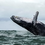 A bálnák összegyűlnek egy helyen, hogy új dalokat tanuljanak egymástól