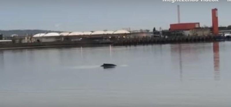 Hajó ütötte el a Temzében holtan talált bálnát