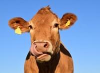 A tehenekről fognak népszavazást tartani Svájcban