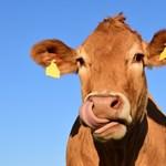 Nem vicc: vécére szoktatják a marhákat Hollandiában, 7 már magától kimegy