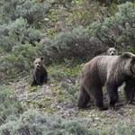 Grizzly medve ölhetett meg egy anyát és gyermekét Kanadában