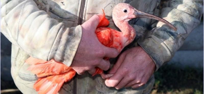Holland rendőrök foglalták le a lajosmizsei skarlát íbiszt