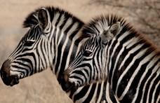 Ilyen különleges zebracsikót ritkán kapnak lencsevégre