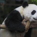 Ön megnézi a maláj pandabocsot, mi eláruljunk a nevét