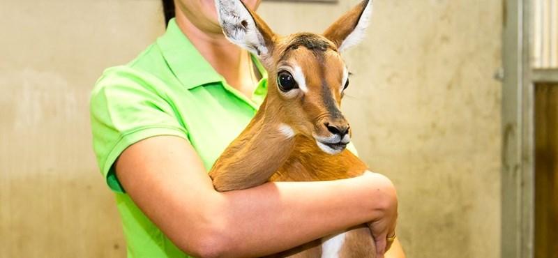 Nagyszemű impalabébi született Veszprémben - fotó