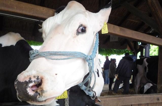 boci szépségverseny, tehén