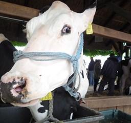 Borotvált tőgy, lakkozott szőr, hajszárítás: így készültek a tehenek a hazai szépségversenyre