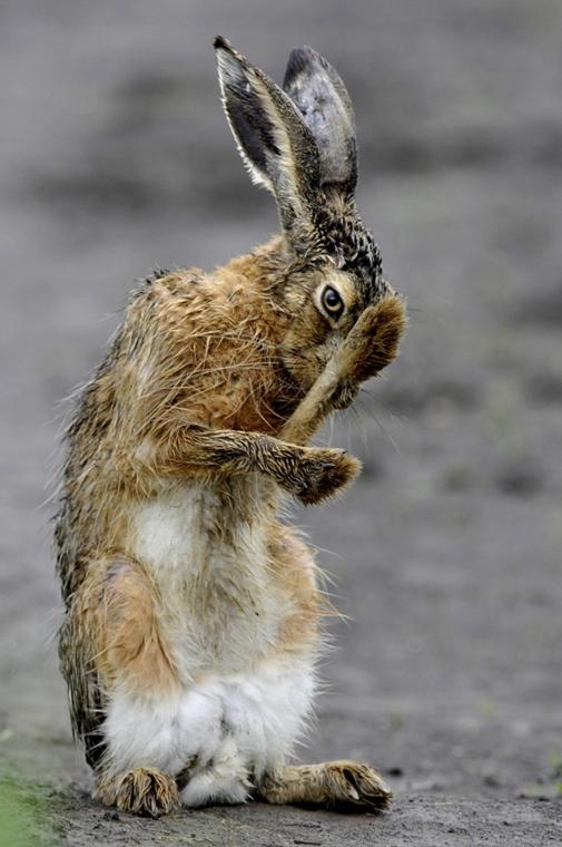 mti.14.05.02. - Dévaványa: ázott mezei nyúl (Lepus europaeus) tisztálkodik eső után a Körös-Maros Nemzeti Parkban - 7képei