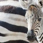 Lehull a lepel: miért csíkosak a zebrák?