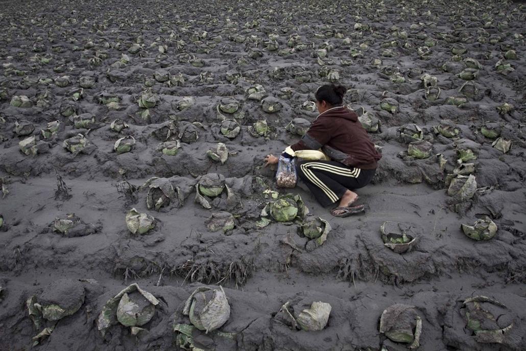 mti. 0113-019 - hét képei, Karo, 2014.01.12.A Sinabung tűzhányó vulkáni hamujával borított káposztaföldön Dolgozik EGY Žena AZ Észak-Szumátrán fekvő Karo faluban 2014. január 12.-En.