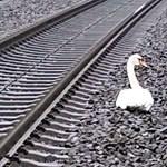 Elütött társát gyászoló hattyú miatt késett 23 vonat Németországban