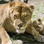 Játékos oroszlánkölykök a Nyíregyházi Állatparkban - fotók