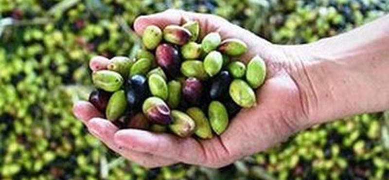 Ausztrál a világ legjobb olívaolaja