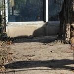 A nap képe: meglátta árnyékát az állatkert medvéje