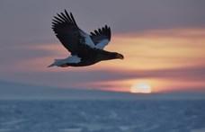 Felgyógyult és hazatért a Magyarországon talált hatalmas ragadozó madár