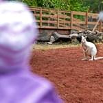 Fotók: Vígan szökdécselnek új kifutójukban a győri kenguruk