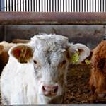 Lehet csökkenteni a szarvasmarhák által kibocsátott káros gázt