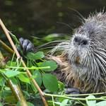 A természet visszavág: hódok okoznak áramkimaradásokat Zalában
