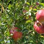 Félpályás útlezárással tüntetnek kétségbeesésükben az almatermelők