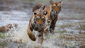 Évtizedek rohamosan csökkenő egyedszáma után egyre több a tigris néhány országban