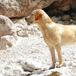 Labrador jelzi a vércukorszint változását