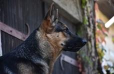 Kutyákkal szagoltatnák ki a koronavírust Németországban