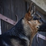 Elpusztult az első koronavírussal fertőzött kutya