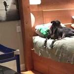 Egy házaspár gigaágyat rendelt, hogy együtt aludhasson kutyáival