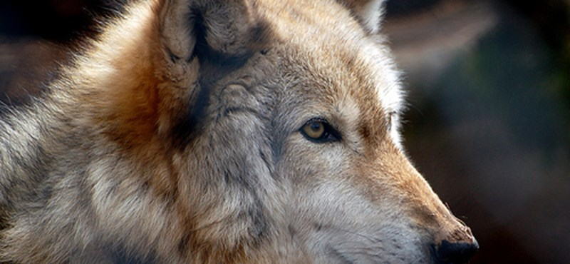Etessen medvéket, simogasson farkasokat!