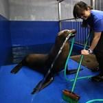 Agyonverték a dortmundi állatkert oroszlánfókáját