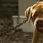 Brutális kutyapusztítás Karacsiban