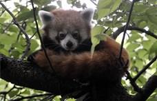 Kis panda érkezett a Fővárosi Állatkertbe