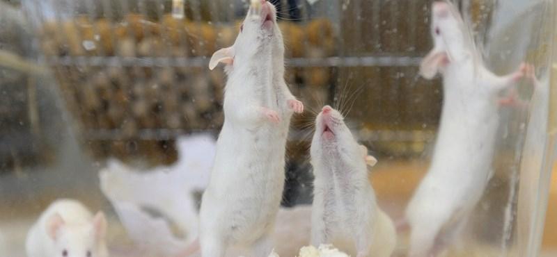Ilyen még nem volt: vizeletet termel a laborban növesztett veseszövet