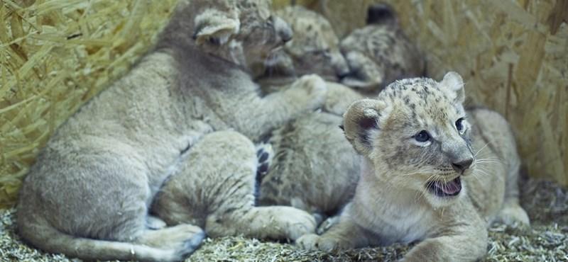 Fotó: kisoroszlánok a Kecskeméti Vadasparkban