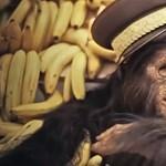Újabb emberi képességre bukkantak a csimpánzoknál
