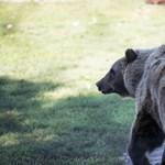 Medve járt Miskolc határában