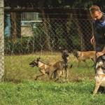 8T: máris rendőrnek nevelik a kajla kutyakölyköket – fotók