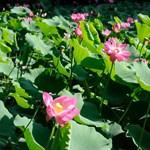 Ilyen látványban sem minden nap lehet részetek: virágzik Szegeden a különleges növény