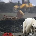 Prémvadászoktól szabadulhatott az orosz városban felbukkant jegesmedve