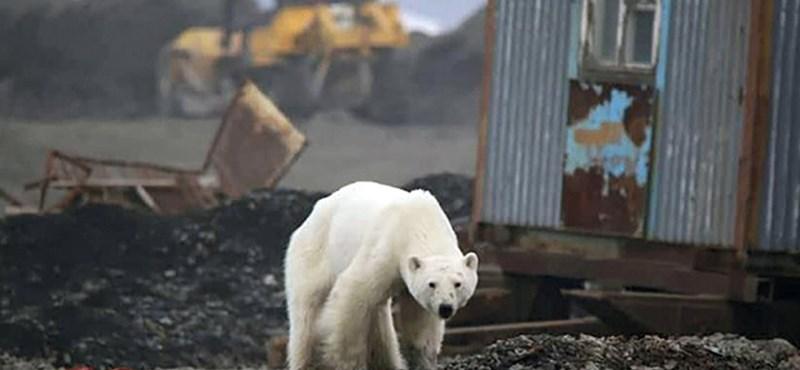 Éhes és kifáradt jegesmedve sétált el egészen Norilszkig