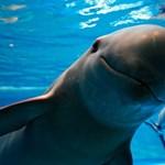 Már csak 22 disznódelfin él a világon, keserű és erőszakos harc folyik a megmentésükért