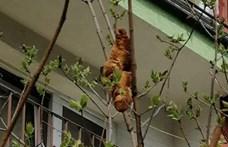 Fán lógó croissant tartotta rettegésben egy krakkói ház lakóit