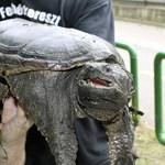 Aligátorteknőst találtak Piliscsabán, harapott is
