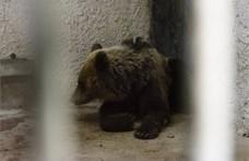 Medve támadt két fiatalra egy romániai állatkertben, mert bemásztak a ketrecébe