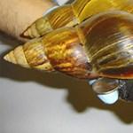 Nem vicc: óriáscsigák támadtak Miamira