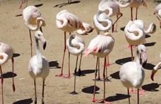 Az állatkerti flamingók családi balettjénél most nincs menőbb koreográfia