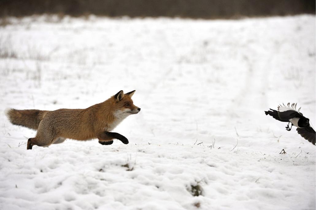 mti. Vörös róka koma vadászott mindenféle madarakra Barcson