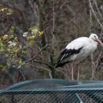 El lehet menni: évek óta nem tér vissza Zagyva, a fehér gólya