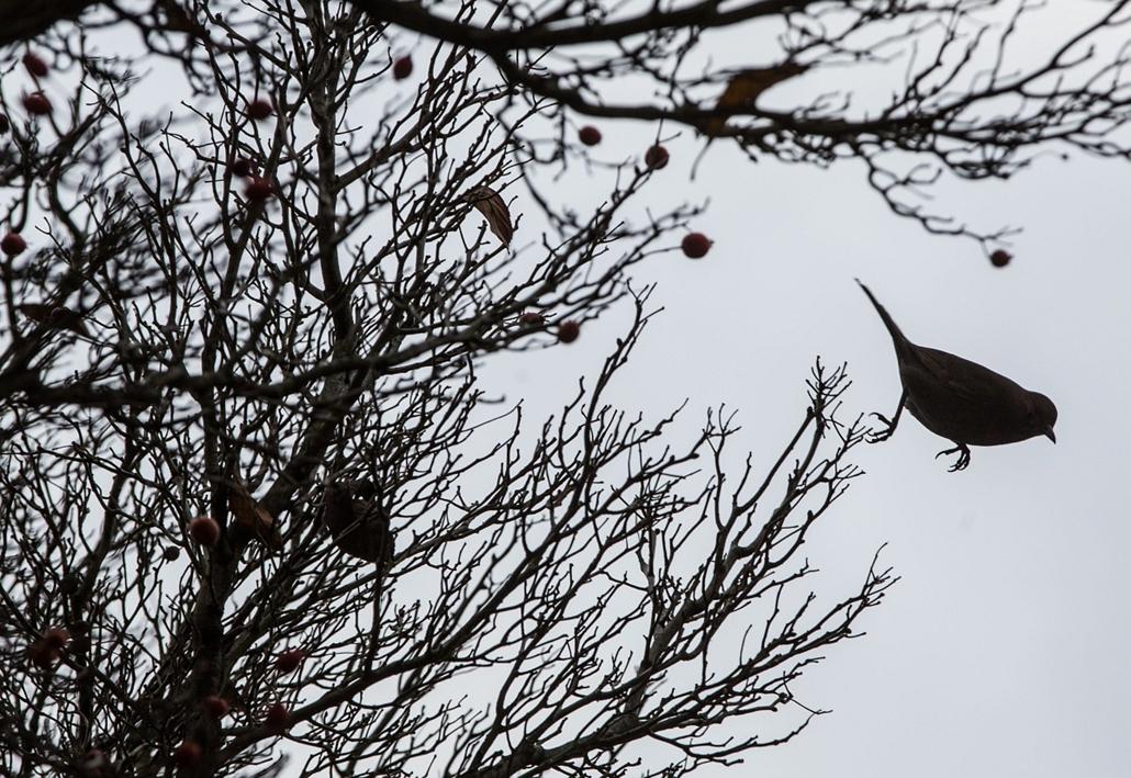 afp. hét képei - Limburg, Németország, 2014.12.09. A bird starts its flight from a tree in Limburg, western Germany, on December 9, 2014.