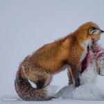 Marcangoló róka, fenyített tigrisek az év természetfotóin